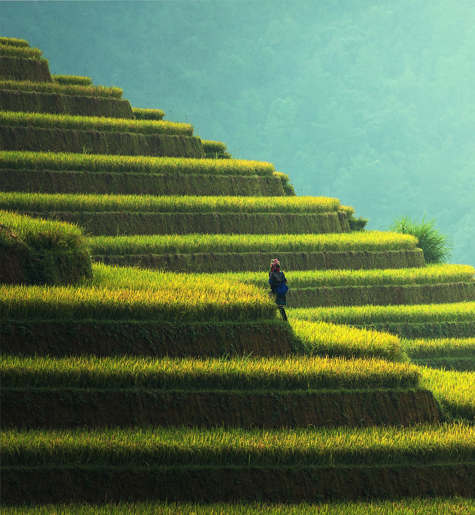 Rizières verdoyantes en escaliers