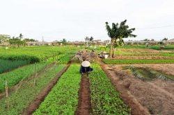 Paysanne s'occupant de ses plantations à Hoi an