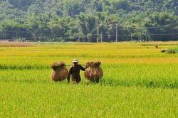 Paysan portant des ballots de riz à Mai Chau