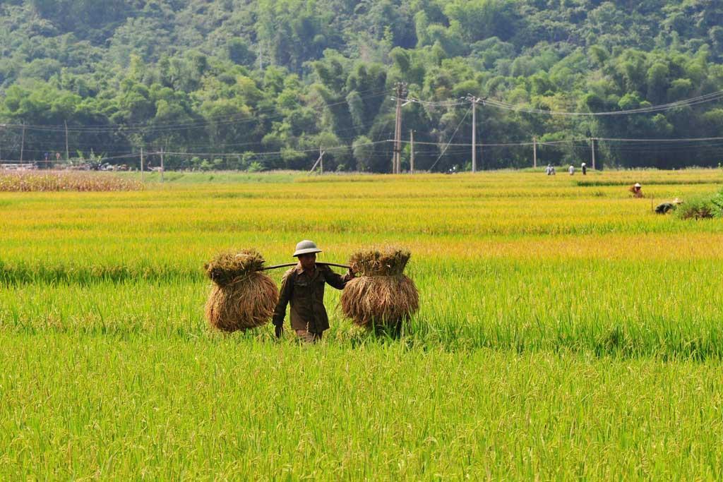 Un paysan dans les rizières de Mai Chau
