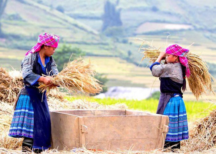 Deux vietnamiennes ramassant le riz à Mu Cang Chai