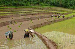 muang la plantation de riz