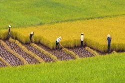 Récolte du riz à Sapa