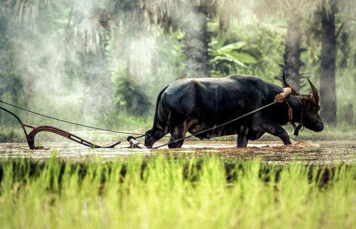 Haut Tonkin paysan labourant son champ avec un bœuf Vietnam