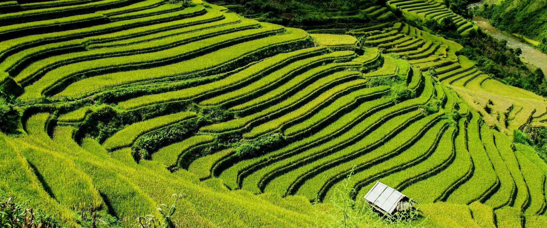 Vietnam, rizières en terrasses à Sapa