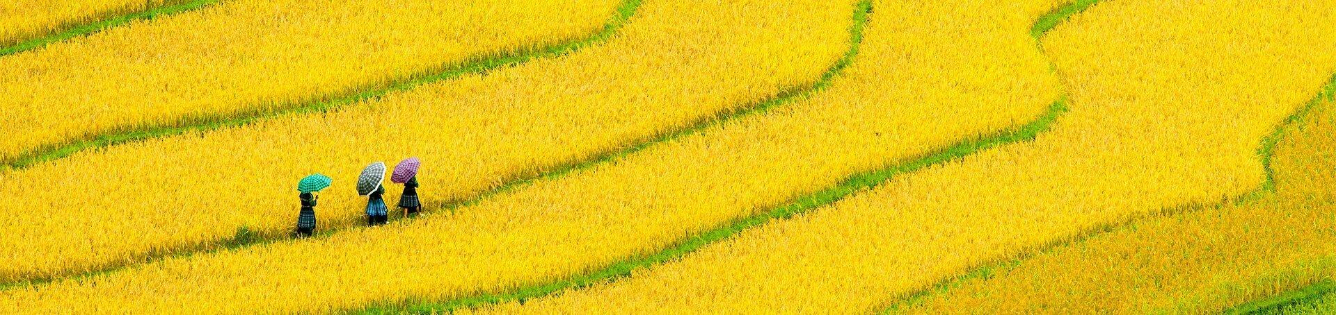 Trois femmes tenant des parapluies dans un champ aux teintes jaunes