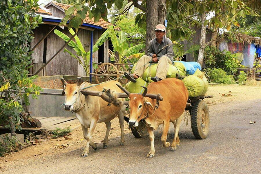 kratie cambodge, homme conduisant une charrette à bœufs