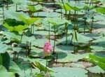 Nénuphar sur une étendue d'eau