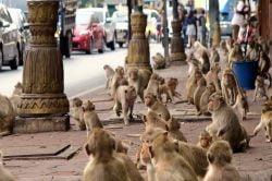 rue pleine de singes Lopburi Thailande