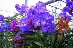 orchidées thailande
