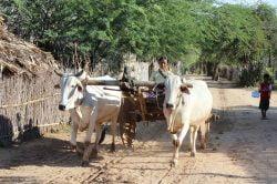 char à boeufs birmanie