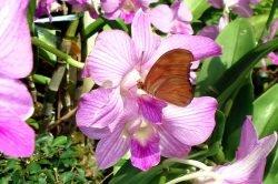 papillon sur une orchidée en Thailande
