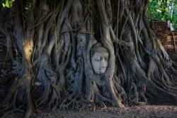 Tete de Bouddha entre les racines d'un arbre