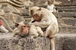singes sauvages en Thailande